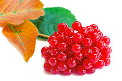 Clusters of berries of a guelder-rose and autumn leaves on a whi Royalty Free Stock Images