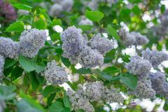 Clusters of blooming pastel violet lilac royalty free stock photography
