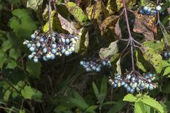 Clusters of blue berries. These clusters of blue berries developed on the end of the branches of a bush royalty free stock image