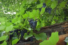 Clusters of blue grapes. Hanging on branches close-up stock photography