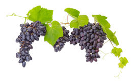 Clusters of blue grapes on the vine with leaves Stock Photo