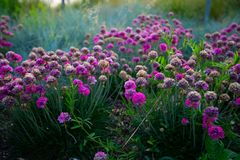 Clusters of bright pink flowers. Clusters of pink flowers going to seed with blurred background royalty free stock image