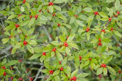 Fall Red Berries, Green Leaves Background stock photo