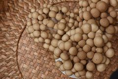 Brown beech mushroom. Clusters of brown beech mushroom with small spherical heads and mottled brown Stock Photography