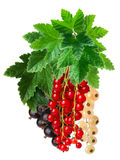 Clusters (bunches) of red,white and black currants together. Hanging clusters of red,white and black currants together. Clipping path, infinite depth of field Royalty Free Stock Photos