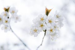Clusters of cherry blossoms in spring, closeup. Clusters of cherry blossoms on tree branches royalty free stock photo
