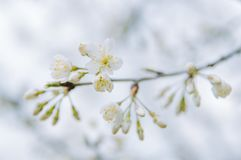 Clusters of cherry blossoms in spring, closeup. Clusters of cherry blossoms on tree branches stock photo