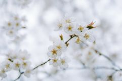 Clusters of cherry blossoms in spring, closeup. Clusters of cherry blossoms on tree branches stock photography