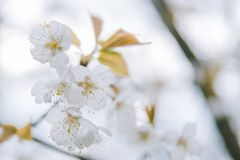Clusters of cherry blossoms in spring, closeup. Clusters of cherry blossoms on tree branches royalty free stock photography