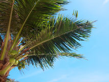 Clusters of coconuts. Hanging on palm tree with blue sky in Thailand Royalty Free Stock Photos