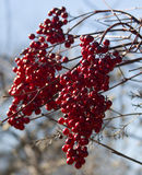 Clusters of crimson red berries Stock Photography