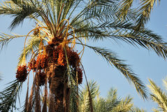 Clusters of dates on a palm tree Royalty Free Stock Image