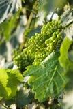 clusters druvan gröna italy tuscany Royaltyfri Fotografi