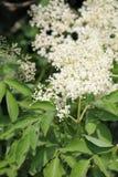 clusters elderflowernigrasambucusen arkivfoto