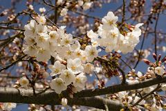 Clusters Flowering Cherry Blossoms and Blue Skies. Close-up of clusters white flowering cherry blossoms located in the Blue Ridge Mountains of Virginia, USA stock images