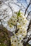 Clusters Flowering Cherry Blossoms. Close-up of clusters white flowering cherry blossoms located in the Blue Ridge Mountains of Virginia, USA stock photography