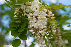 Clusters of fragrant white acacia flowers with green leaves and Stock Image