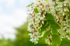 Clusters of fragrant white acacia flowers with green leaves and Royalty Free Stock Image