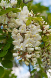 Clusters of fragrant white acacia flowers with green leaves and Royalty Free Stock Photography
