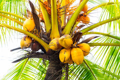 Clusters of freen coconuts close-up hanging on palm tree Royalty Free Stock Photo