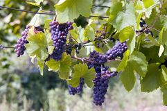 Clusters of grapes. In central Europe Royalty Free Stock Photo