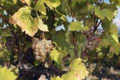 Clusters Grapes Amber Vine White Royalty Free Stock Image