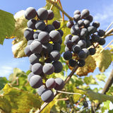 Clusters of grapes Royalty Free Stock Images