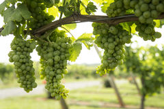 Clusters of Grapes Hanging from Grapevine Stock Photo