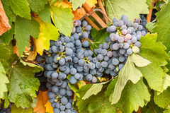 Clusters of grapes and leaves. Valdevimbre vineyards, Leon. Stock Photography