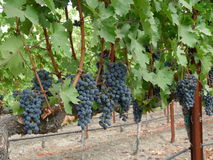 Clusters of grapes on a vine Royalty Free Stock Images