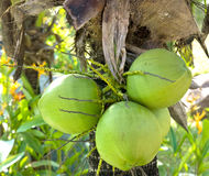 Clusters of green coconuts Royalty Free Stock Image