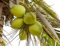 Clusters of green coconuts Stock Photo