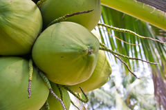 Clusters of green coconuts close-up. Hanging on palm tree Royalty Free Stock Photography