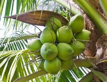 Clusters of green coconuts close-up. Hanging on palm tree Stock Photography
