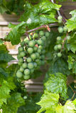 Clusters of Green Grapes. Cluster of Unripe Green Grapes Stock Image
