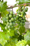 Clusters of Green Grapes. Clusters of Unripe Green Grapes Stock Image