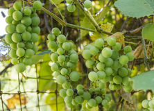 Clusters of Green Grapes Stock Images