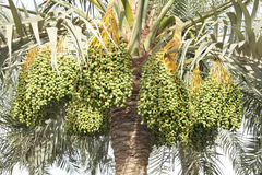 Clusters of kimri green dates Stock Photo