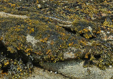 The clusters of  Laminaria on cliffs at sea shore in low-tide Royalty Free Stock Image