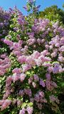 Lilacs. Clusters of lilacs hanging on the tree Royalty Free Stock Photography
