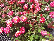 Clusters of Little Red Roses 2. Clusters little red roses bunch royalty free stock image
