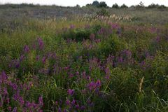 Clusters of loosestrifes in field. Medical grassland. Lythrum salicaria Stock Photography