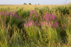 Clusters of loosestrifes in field. Medical grassland. Lythrum salicaria Stock Photo