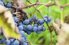 Clusters of Merlot and leaves in Bulgarian vineyard royalty free stock photo
