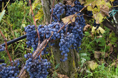 Clusters of Merlot in a vine during the harvest in Bulgaria. Selective focus royalty free stock image