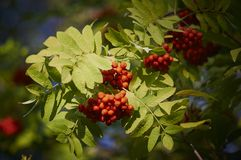 Clusters of mountain ash on a branch Royalty Free Stock Image