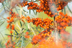 Clusters of orange sea buckthorn royalty free stock photography