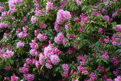 Clusters of pink flowers on a large rhododendron bush royalty free stock image