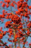 Clusters of red ash. Against the sky stock photos