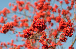 Clusters of red ash. Against the sky royalty free stock photography